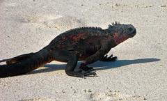 marine iguana striding out at gardner bay - espaola island, galpagos 4 (Russell Scott Images) Tags: colourful marineiguanaamblyrhynchuscristatussspvenustissimus beach espaolaisland islaespaola hoodisland galpagos equator gardnerbay sand
