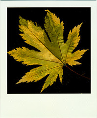Autumnal Equinox (R. Drozda) Tags: fairbanks alaska leaf japanesemaple bleachedleaf impossiblefilm composite scanned fall autumn equinox drozda
