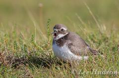 Ringed Plover - Juvenile (Lee Hudson photography) Tags: ringedplover charadriushiaticula leehudson bird britishwildlife calling