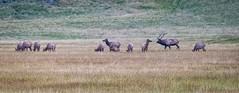 Caldera Elk (APGougePhotography) Tags: elk new mexico nm valles caldera national preserve nikond800 d800