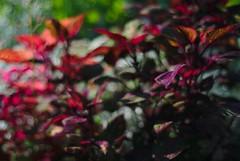 DSC_0075 (criscrot) Tags: parcsaintemarie nancy lorraine bokeh colors d200 50mm18 automne autumn couleurs