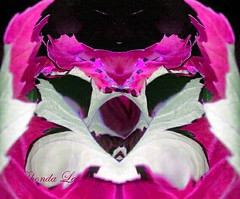 Pink puppy (rhonda_lansky) Tags: pink white puppy blackbackground facial faces lansky flower colors bright vividcolor plants creations formations nature design abstractoutdoors outdoor mirroredshapes mirrorart symmetryart symmetrical symmetryartist earth expressive visualplant foliage rhonda surreal pattern organic texture poems shortstories storys writing