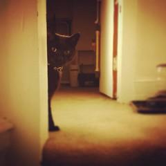 Lurker  #blackcatsofinstagram #catsofinstagram #peepingtom #creepy (TheKittyLover42) Tags: instagramapp square squareformat iphoneography uploaded:by=instagram rise