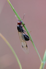 "Vol nuptial / Nuptial flight - srie  ""Explore"" (Orpinbleu) Tags: macro nature fauna garden flickr princess corse corsica jardin ants 2012 princesse fourmis macrophotographie nuptialflight volnuptial orpinbleu"