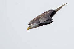 It's A Bird (topmedic) Tags: baldeagle iowa ia eagles leclaire lockdam14 ld14