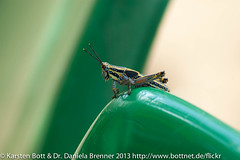 """Grasshopper • <a style=""""font-size:0.8em;"""" href=""""http://www.flickr.com/photos/56545707@N05/8365593680/"""" target=""""_blank"""">View on Flickr</a>"""