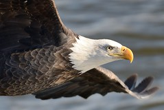 American Bald Eagle [3404] (cl.lin) Tags: bird birds closeup river mississippi nikon midwest eagle lock dam wildlife 14 birding flight bald sigma iowa american mississippiriver eagles americanbaldeagle birdinflight d600 leclaire lockanddam14 ld14 onlythebestofnature