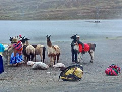 Llama's at the Summit of the Bolivian Death Road