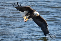 American Bald Eagle Fishing, Splashing, and Dipping (cl.lin) Tags: bird birds river mississippi fishing nikon midwest eagle lock dam wildlife 14 birding flight bald sigma iowa american mississippiriver eagles dipping americanbaldeagle splashing birdinflight d600 leclaire avianexcellence lockanddam14 ld14
