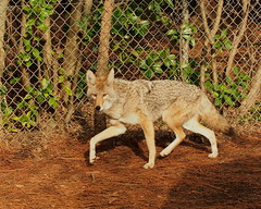 Coyote (Joey Hinton) Tags: coyote chattanooga zoo tennessee olympus 45mm omd em5 p1278497