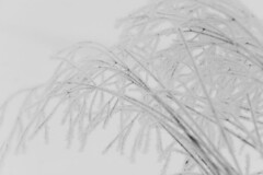 Straws (DavidAndersson) Tags: morning winter white snow cold ice monochrome sweden highkey delicate straws vnersborg tamron18200f3563