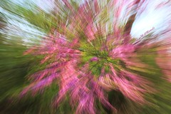 della serie PASSAGES ... n. 6 ...  COCKTAIL D'AMOUR (Maria Grazia Marrulli) Tags: progettofotogpubpassage alberodigiuda cercissiliquastrum fiori zoomata inmovimento esplosione colori colours couleurs rosa pink verde green astratto abstract abstrait dedica dedicata dedicated alcuoredelledonne p citazione tapefive cocktaildamour saturnia manciano grosseto italia intentionalcameramovement icm viaggio travel vojage