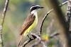 Bem Ti Vi (Rod.T28) Tags: nature birds tiradentesmg bentivi nikond600 tamron70200mmf28