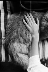 (Hailey Lamb) Tags: pet white black film analog cat 35mm canon fur soft hand arm ae1 analogue