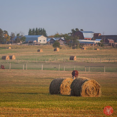 One fall evening 4 (Kasia Sokulska (KasiaBasic)) Tags: light canada fall colors rural landscape evening countryside cows farm alberta fields hay bales