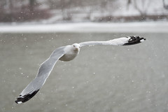Gliding through the Snow (Justin Lo Photography) Tags: life winter seagulls snow canada cold bird ice nature birds flying wings action wildlife seagull flight snowstorm feathers