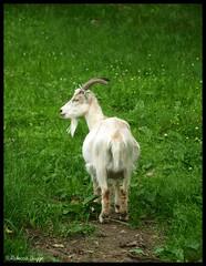 Goat study (DameBoudicca) Tags: get sweden schweden goat ziege sverige freilichtmuseum cabra suecia chiva chèvre suède svezia capro värnamo caprone caprahircus friluftsmuseum openairmusem apladalen capraaegagrushircus hausziege hembygdspark museoallaperto