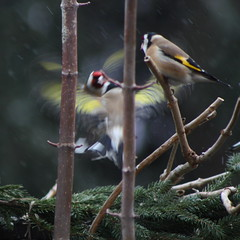 Goldfinch fight (kataaca) Tags: winter red bird animal yellow fight goldfinch llat piros harc srga tl madr tengelic