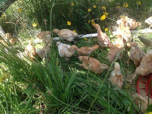 Our three-week-old chickens moved to pasture