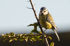 Blue-3266 (WendyCoops224) Tags: blue sunshine canon eos tits busy tiny perch 600d 100400mml