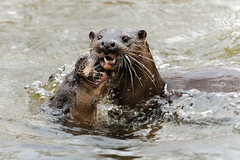 Otters (amylewis.lincs) Tags: uk england urban nature animal mammal nikon britain wildlife norfolk sigma british d3 lutralutra 2013 150500mm