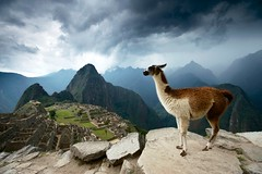 Llama above Machu Picchu. Peru (JC Richardson) Tags: city mountain storm abandoned peru southamerica animal inca dark ancient nikon ruins llama andes brooding machupicchu archeology nationalgeographic domesticated jimrichardson remoteweather