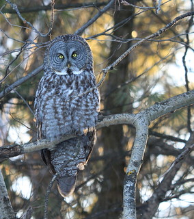 Great Gray Owl- Ottawa:   My first ever!!!