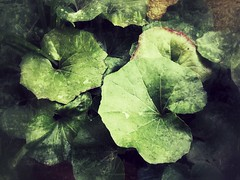 This morning / February 21, 2013 at 7.58AM (SOVA5) Tags: morning plant green backyard leopardplant  xperiaz sonyso02e