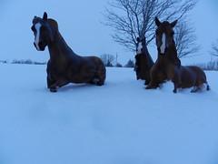 Galloping in the Snow (Horse-Crazy-101) Tags: wild horses mare stallions herd wildhorses breyer breyerhorses smartchicolena breyerphotography breyertraditionalsize breyertraditionalsizehorses breyertraditionals