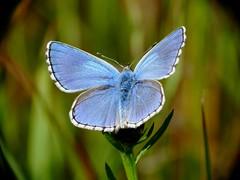 Lycaenidae-Polyommatus bellargus (Le bel Argus. L'Azuré bleu-céleste.) (Ihagee86) Tags: lumix panasonic insectes entomologie lépidoptère macrophotographie dmcfz50 proxyphotographie