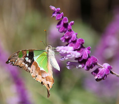 Butterfly at Mt.Tomah (Ne2405) Tags: canon butterfly wildlife sydney australia insects bluemountains australianwildlife