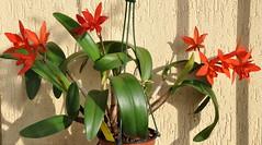 LC Amazon Trick x SL Psyche (douneika) Tags: orchid amazon x sl orchidaceae orquidea trick laeliocattleya lc psyche orchidea sophrolaelia
