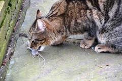 Gotcha................. (aceanorak1) Tags: beauty animal cat mouse feline killer beast pest harvieandthemouse