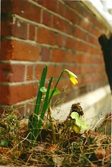 Spring (thatgingerthere) Tags: new flowers red urban plants green london film nature leaves yellow wall 35mm petals spring seasons suburban bricks young growth daffodil change growing