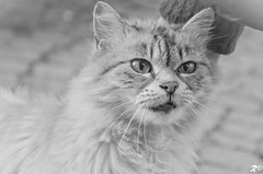 Occhi di Gatto (Riccardo Brig Casarico) Tags: life bw italy white holiday black love colors animals wow blackwhite nikon europa europe italia colori bianco nero biancoenero brig riki nocolor d5100 nikond5100 brigrc