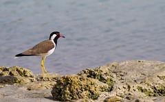 Red wattled Plover (Alghailani) Tags: uae seabirds