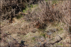 Vipera berus (Matthijs Hollanders) Tags: common viper eurasian adder vipera viperaberus berus commonviper commonadder eurasianadder eurasianviper