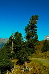 Wanderlust (Blochmntig) Tags: tree schweiz switzerland suisse grindelwald grn baum wandern gebirge berneroberland wurzeln jungfrauregion alterbaum