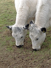 Seeing Double. (Reinardina) Tags: two england nature countryside cows hampshire double seeing heads winchester grazing e11 stcatherineshill cattke sonydschx100v
