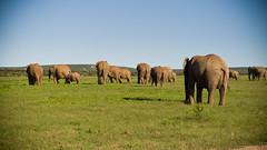 Addo Elephant Park (andbog) Tags: panorama elephant nature animal canon landscape southafrica addo nationalpark widescreen wildlife natura powershot 169 za paesaggio easterncape compactcamera g12 16x9 addonationalpark sudafrica canong12