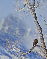 Teton Bald Eagle (Daryl L. Hunter - The Hole Picture) Tags: usa proud bravo unitedstates baldeagle bluesky raptor perched wyoming framing regal jacksonhole bigmountain grandtetonnationalpark cottonwoodtree thegrandteton