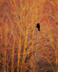 firebird (BryanBowman) Tags: bird nature photography