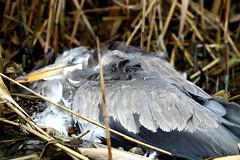 arm beest (grwsh.marcel) Tags: bird heron nature canon death hard natuur 7d oiseau dood reiger vogel cruel einde wreed canon7d