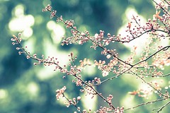 Wistful (Lolo Photo Co.) Tags: spring blossoms nikond5200