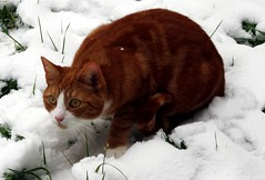 Chilly Charlie (Stuart Axe) Tags: winter pet cats pets white snow cat ginger kitty charlie freddie polydactyl polydactylcat tomcat gingercat gingertom polydactyly hemingwaycat kissablekat bestofcats gingertomcat catmoments charlieandfreddie friendsofzeusphoebe
