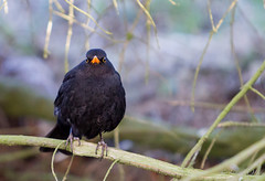 Svartrstur (Jonas Ottos) Tags: black nature birds animals yellow wildlife turdusmerula akranes eurasianblackbird fuglar canon7020028l commonblackbird svartrstur canon7d flkingar