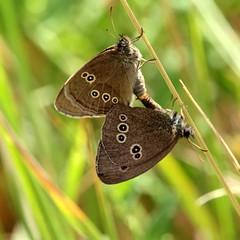 Mating ringlets (saxonfenken) Tags: brown butterfly insect dof circles spots rings superhero mating shallow ringlets 7000 twoofakind aphantopushyperantus challengewinner herowinner pregamewinner