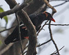 Th13_01232a (jerryoldenettel) Tags: bird thailand 2012 myna khaoyai passeriformes hillmyna graculareligiosa passerine khaoyainationalpark sturnidae gracula