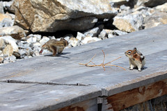 IMG_3979 (vipermikey) Tags: canada rockies rockymountains banff banffnationalpark alberta mt norquay chairlift goldenmantledgroundsquirrel mtnorquay