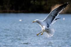 Putting on the brakes (xxKnuckles) Tags: seagull needham lake landing ungraceful water england suffolk bird brakes braking flight wings